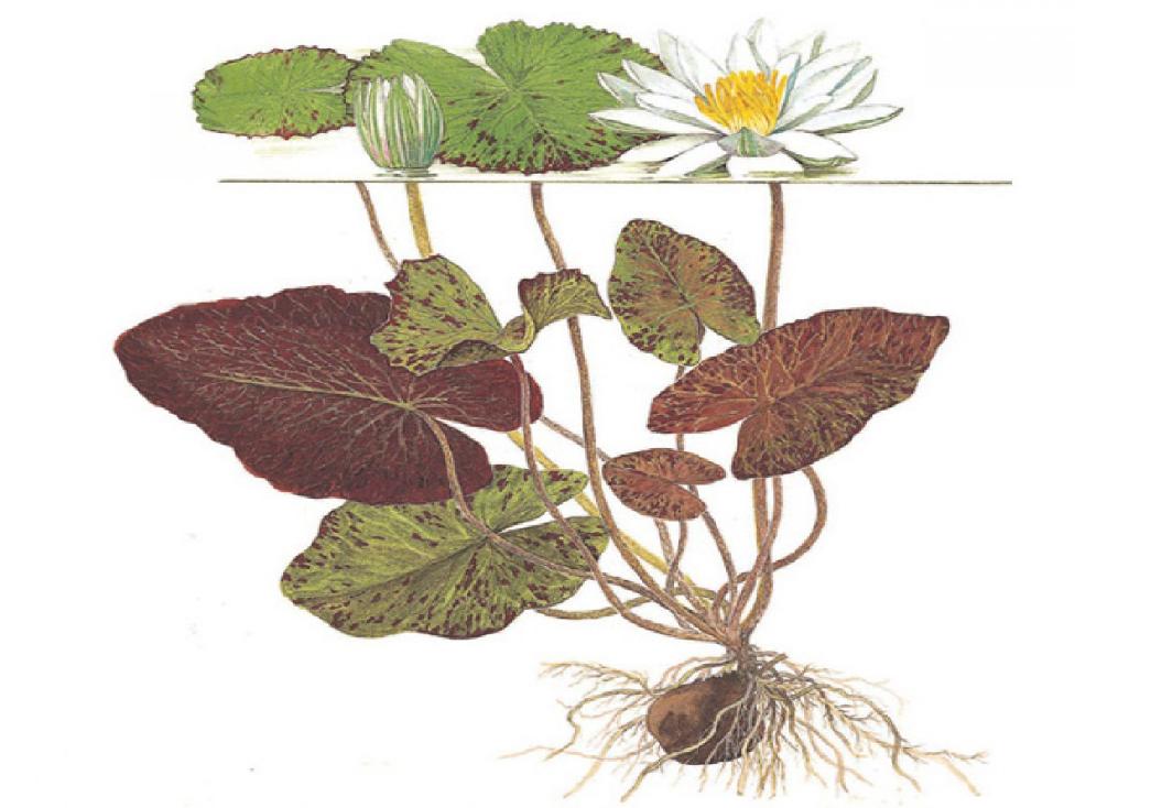 Como cultivar nymphaeas e lótus