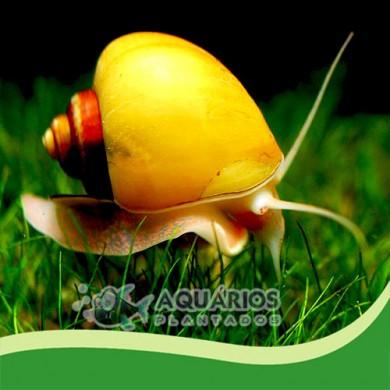 Pomacea diffusa (Ampulária amarela) 5 unid.