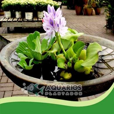 Eichhornia crassipes - Águapé