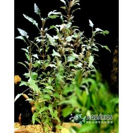 """Hygrophila corymbosa """"Ruffle Leaf"""""""