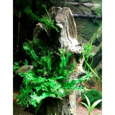 Microsorum pteropus 'Windelov'