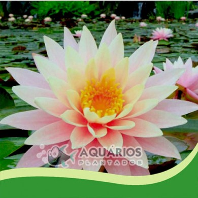 """Nymphaea """"Pink"""""""
