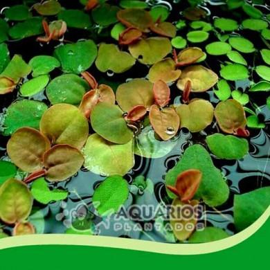 Phyllanthus fluitans