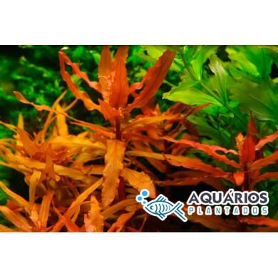 Ammannia gracilis (INDISPONÍVEL)