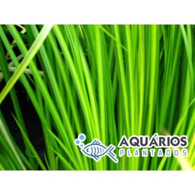Acorus gramineus 'Pusillus' (Dwarf Sweet Flag)