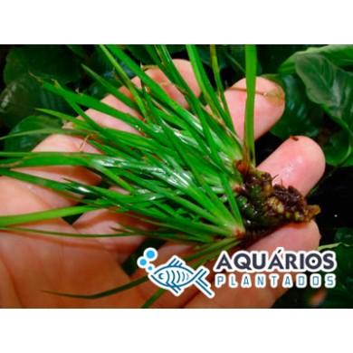 Acorus gramineus - (Mini-cálamo-do-japão)