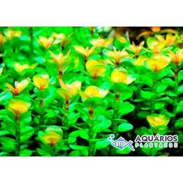 Ammannia sp. Bonsai