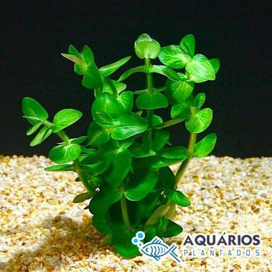 Bacopa lanigera