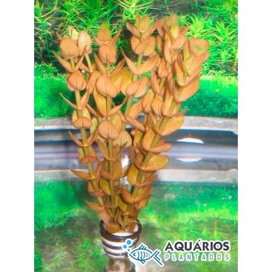 Bacopa rotundifolia (INDISPONÍVEL)