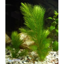 Ceratophyllum demersum (Rabo de raposa) (RESTRIÇÃO)