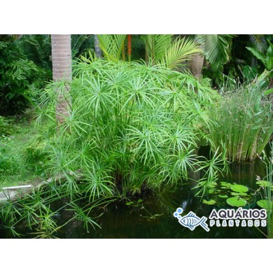 Cyperus alternifolius (Sombrinha-chinesa) (INDISPONÍVEL)