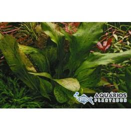 "Echinodorus ""Ozelot Green"" (INDISPONÍVEL)"