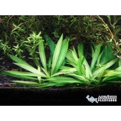 """Echinodorus bolivianum """"quadricostatus"""" (Helanthium bolivianum)"""
