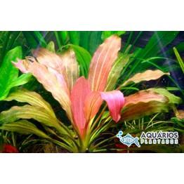 """Echinodorus """"Rosé"""""""