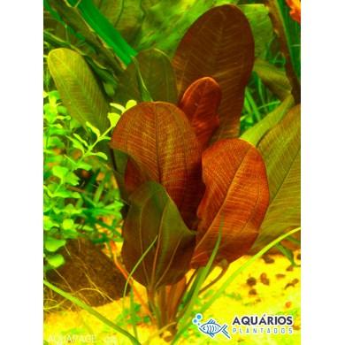 """Echinodorus """"Small Bear"""""""