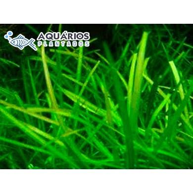 """Echinodorus tenellus """"Amano"""""""