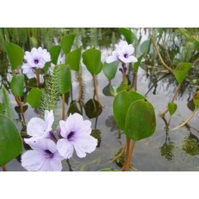 Eichhornia azurea (INDISPONÍVEL)