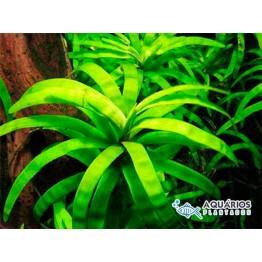 Eichhornia diversifolia (RESTRIÇÃO) (INDISPONÍVEL)