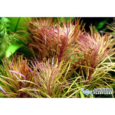 "Pogostemon stellatus ""Broad Leaf"" (Eusteralis stellata)"