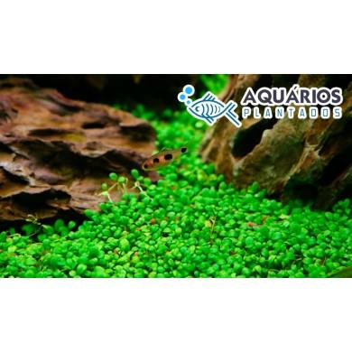 Glossostigma elatinoides (RESTRIÇÃO)