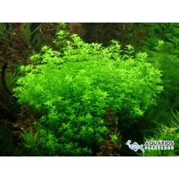 Hemianthus micranthemoides (RESTRIÇÃO)