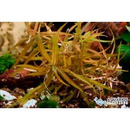 """Hygrophila polysperma """"Ceylon"""""""