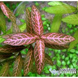 """Hygrophila polysperma """"Rosanervig"""" (Higrofila sunset)"""