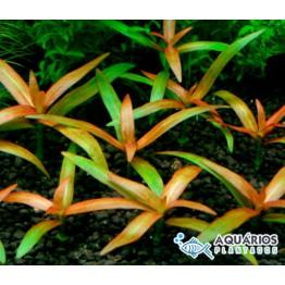 "Hygrophila sp. ""Pantanal"""