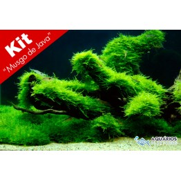 "Kit Taxiphyllum barbieri ""Musgo de Java"" - 20 unids."