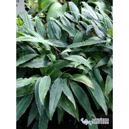 Lagenandra lancifolia (Schott) Thwaites