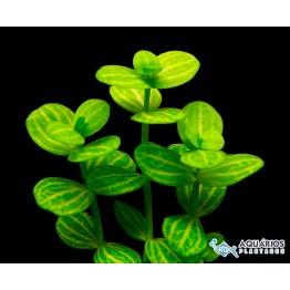 """Lindernia rotundifolia """"Variegata"""""""