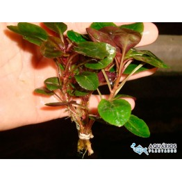 "Lobelia cardinalis ""Small Form"""