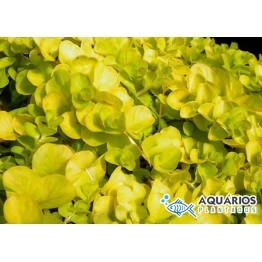 "Lysimachia nummularia ""Aurea"" (Gold)"