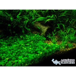 Marsilea quadrifolia (RESTRIÇÃO)