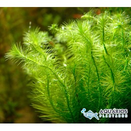 Mayaca fluviatilis (RESTRIÇÃO)