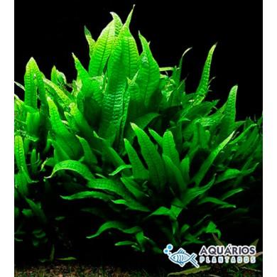 Kit Microsorum pteropus -  25 unids.