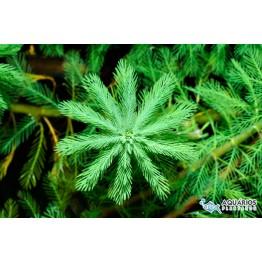 "Myriophyllum aquaticum ""Green"""
