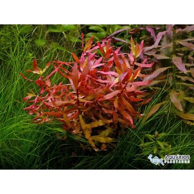 """Ammannia praetermissa (Nesaea sp. """"Red"""") (RESTRIÇÃO)"""