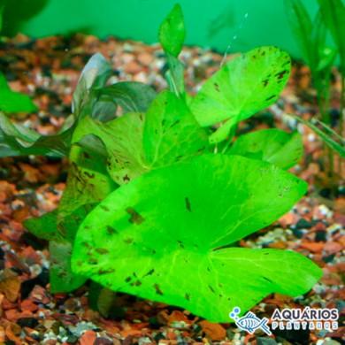 """Nymphaea lotus """"Zenkeri Green Tiger"""""""