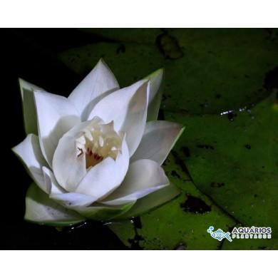 Nymphaea jamesoniana