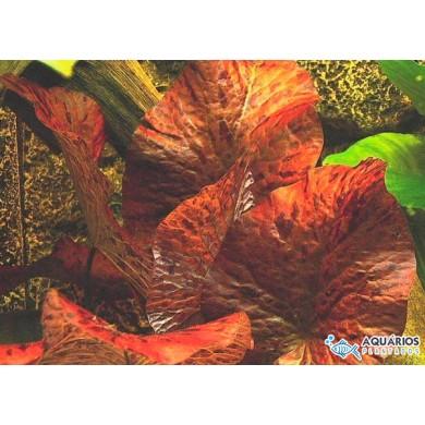 "Nymphaea lotus ""Zenkeri"""
