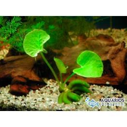 Nymphoides aquática (Banana de aquário) (Indisponível)