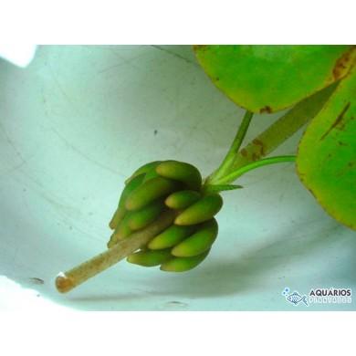 Nymphoides aquatica (Banana de aquário)