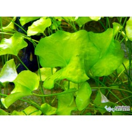 "Nymphoides sp. ""Taiwan"" cristata (RESTRIÇÃO)"