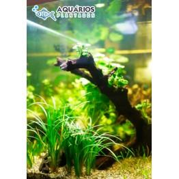 """Ophiopogon japonicus """"Kyoto Dwarf"""""""