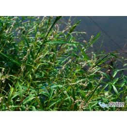 Polygonum punctatum Elliott (Polygonum acre)