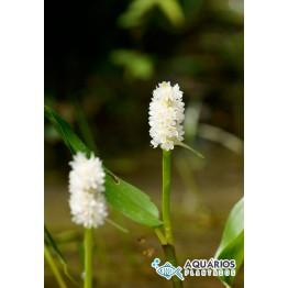 Pontederia parviflora