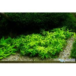 Ranunculus papulentus