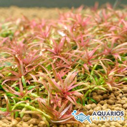 "Rotala sp. ""Goias"" (Rotala mexicana ""Goias"")"