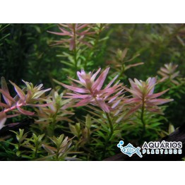 """Rotala sp. """"Pink"""""""